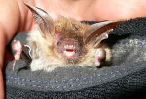 L1090379 Bechsteins bat HTWSR cropped small
